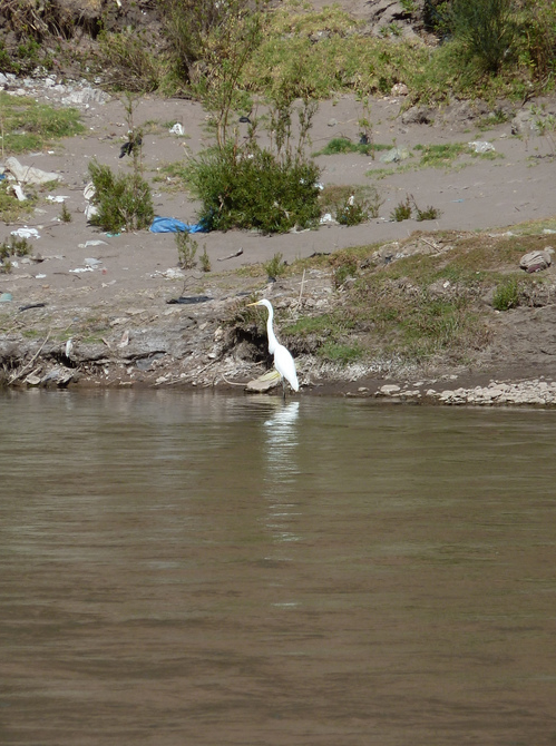 Egret at Lunch in the Sacred Valley