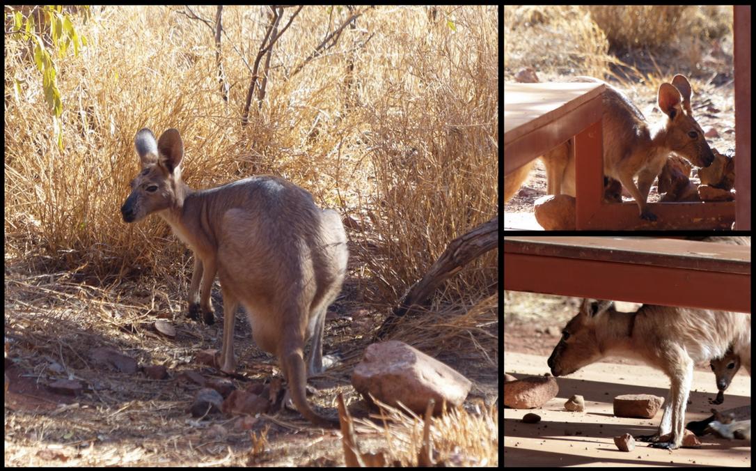 Mama Kangaroo