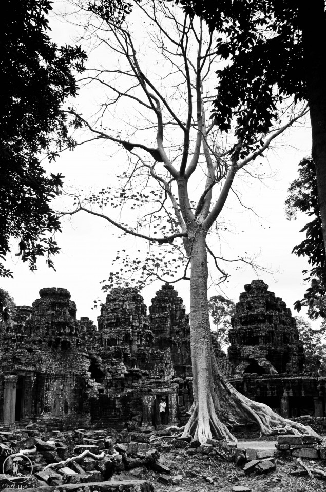 Spung Tree at Banteay Kdei