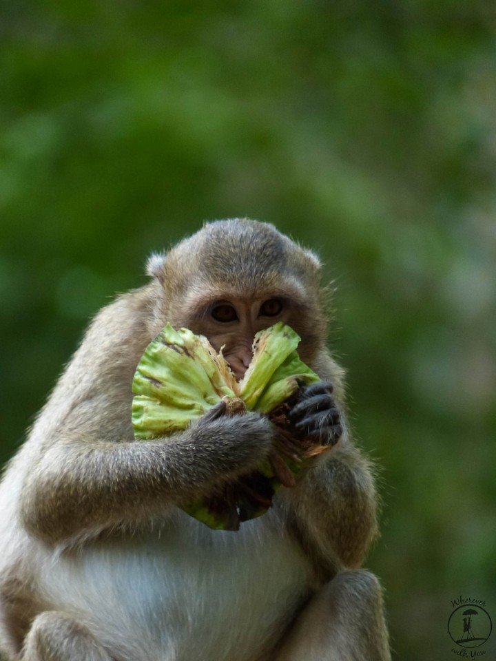 Macaque Eating a Lotus Pod in Angkor Thom