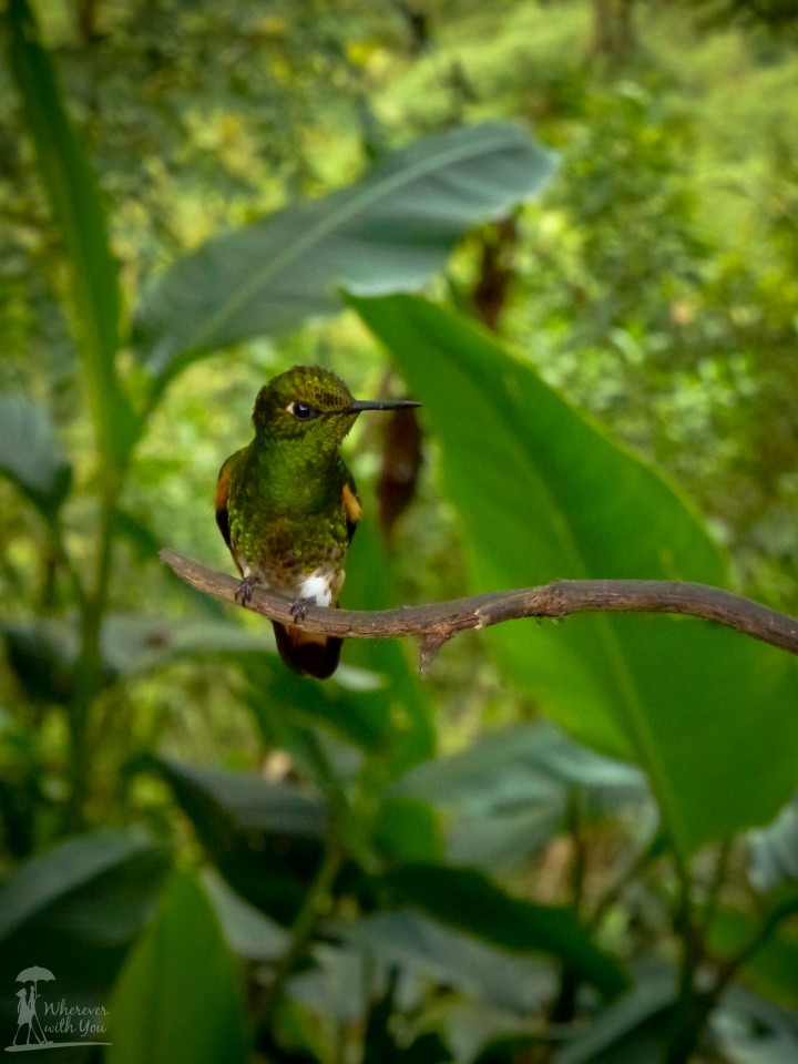 17 May, 2014 - A hummingbird takes a short break on a branch in the cloud forests of Ecuador. We took a trip to the bosque nublado to see the many different species of hummingbirds who come here for part of the year and spent hours (& a lot of gigabytes of memory) patiently photographing them.