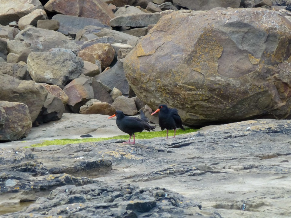 These two spunky Oystercatchers were running around in the rocks on the bay, creating quite a ruckus.