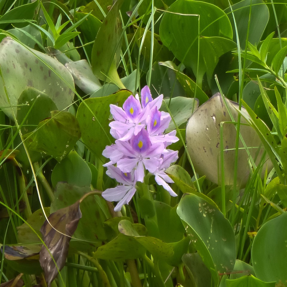 Beautiful flower on Lake Nicaragua