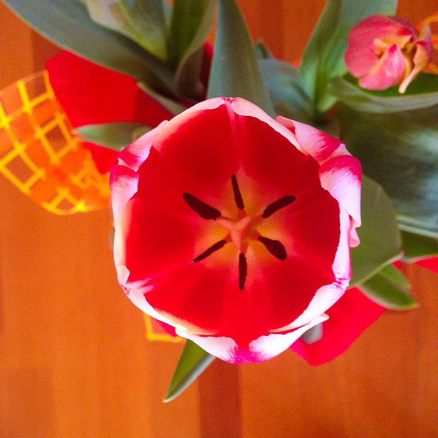 {Beautiful tulips from our good friend/houseguest. Also, the most popular flower for Valentine's Day here in Oaxaca}