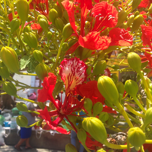 {Close up of the flower from the Mexican Flame Tree, or Flamboyante, which is blooming here in Oaxaca this week.}
