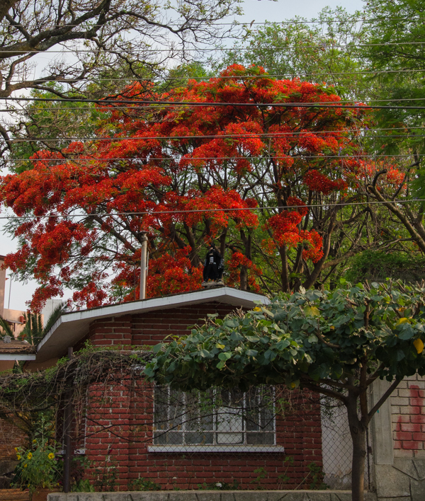 One of the Flamboyante trees - and a house guarded by Batman. Can you spot him?}