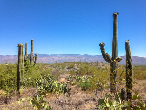 {Morning hike in Saguaro National Park. Saguaros have to be at least 75 years old before they grow their first arm.}