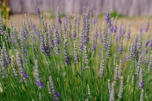 {Colors of summer. Lavender in my mom's garden.}