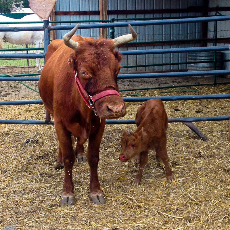 {Shortcake had her new calf just a few hours before we came to visit. Here she is showing him off.}