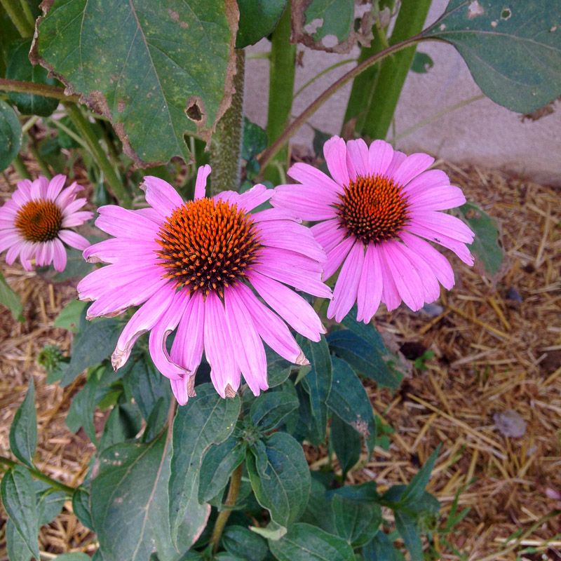 {Beautiful Echinacea flowers in the garden}