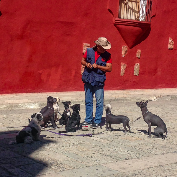{Oaxaca's most famous dog trainer, training his small dogs on the Andador just outside the building where we have Spanish classes. Love all the little Xolo's - the Mexican Hairless. The dogs ADORE him!}